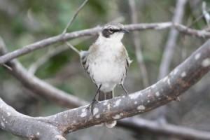 Vida Silvestre de Galápagos: Mockingbird © John Crayston