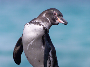 Galapagos penguin by Jonathan Green