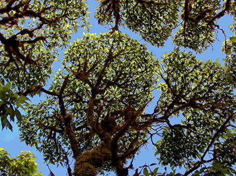 Scalesia canopy © Godfrey Merlen
