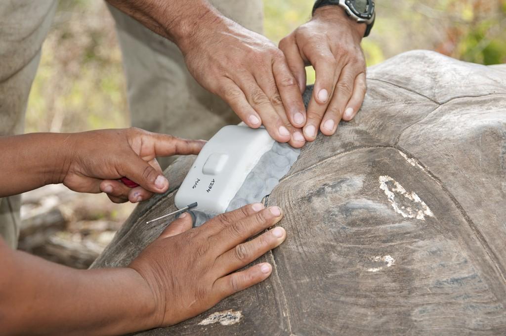 Researchers attach a GPS tracker to a tortoise shell (© Steven Blake)