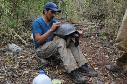 Galapagos People: Fredy Villimar attaching a solar powered GPS tag to a juvenile tortoise on Santa Cruz.
