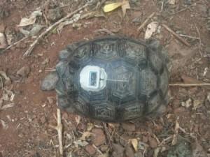 Vida Silvestre de Galápagos: Juvenile tortoise with a solar powered GPS tracker