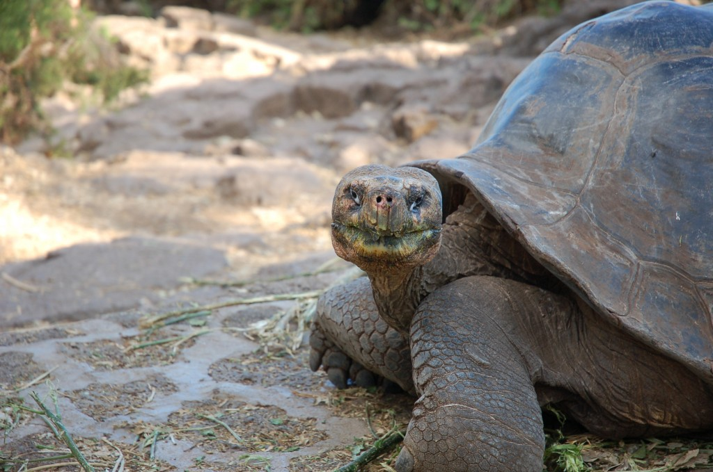 Galapagos Wildlife: Giant Tortoise (©Sally Wellman)