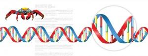 DG Figures: DNA Helix Diagram by Lisa Brown (©)