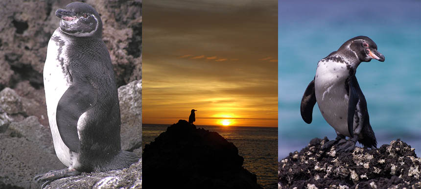 Galapagos Penguins by Bart Goedendorp, Antje Steinfurth, and Jonathan Green (©)