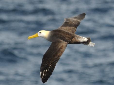 Vida Silvestre de Galápagos: Albatros ondulado © Trevor Platt