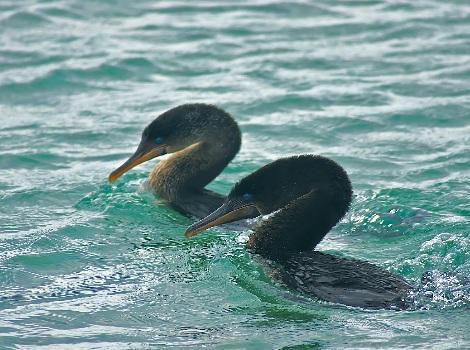 Vida Silvestre de Galápagos: Cormorán de Galápagos © David Cook