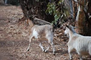 Vida Silvestre de Galápagos: Cabras