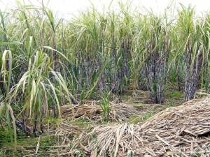 Vida Silvestre de Galápagos: Azucar