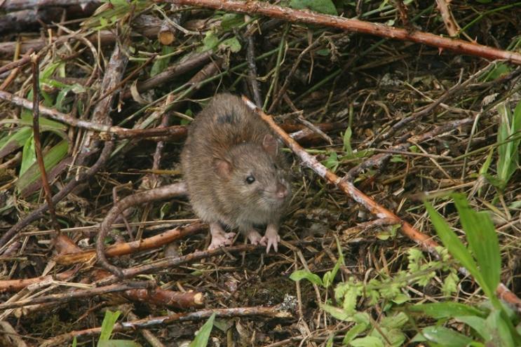 Rata marrón en Galápagos © Ian Dunn