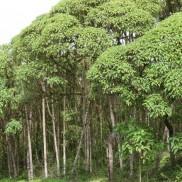 Vida Silvestre de Galápagos: Scalesia © Patricia Jaramillo y La Fundación Charles Darwin
