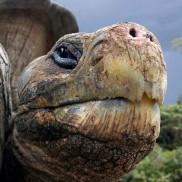 Galapagos Tortise